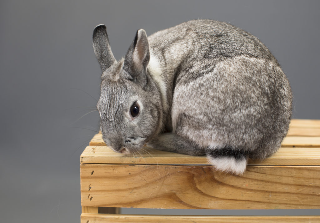 pet portrait rabbit bunny gray