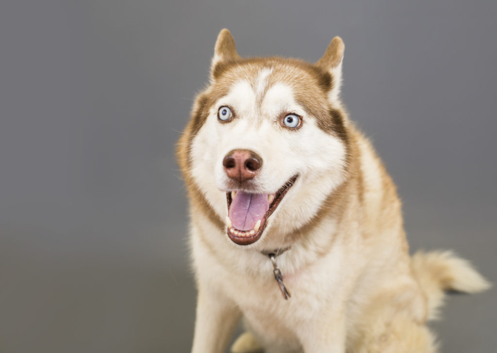 funny pet portrait goofy face husky dog
